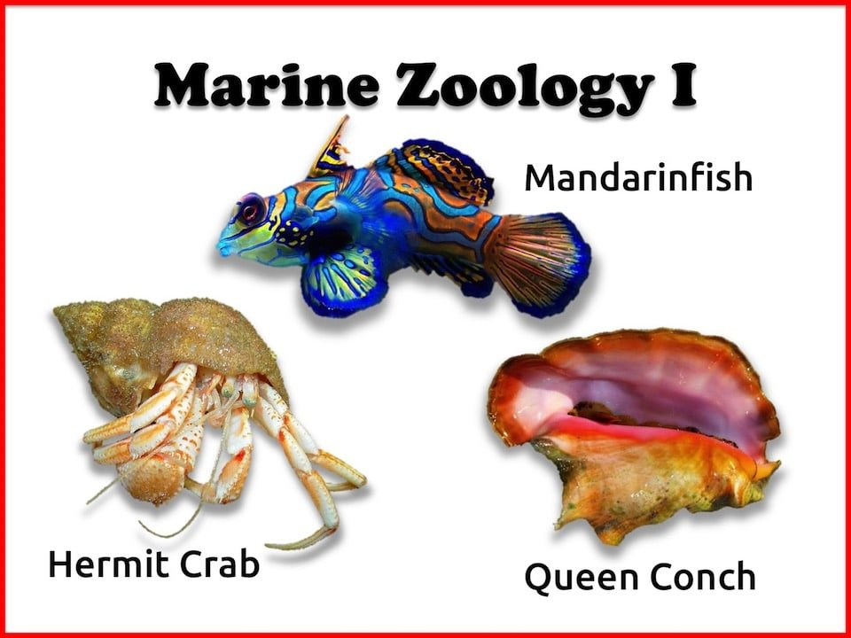 Marine Zoology I - Mandarinfish, Hermit Crab & Queen Conch 3-week Live or Recorded eWorkshop