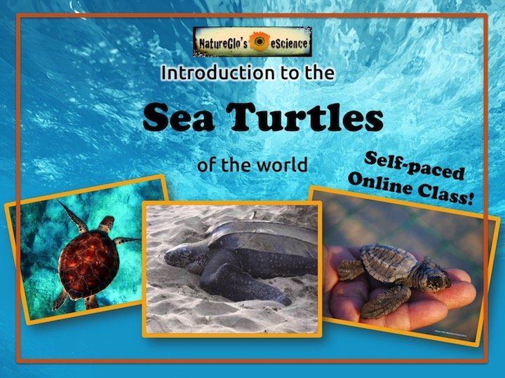 Sea turtles online self-paced class